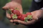 cosechar frutillas