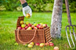 cosechando manzanas