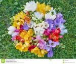 fresias coloridas