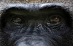 ojos gorila