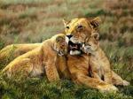 leona-con-cachorras